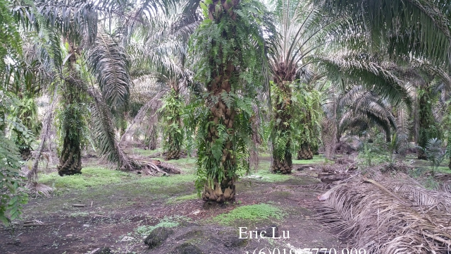 Kulai Inas 20 Acre Oil Palm Plan... photo